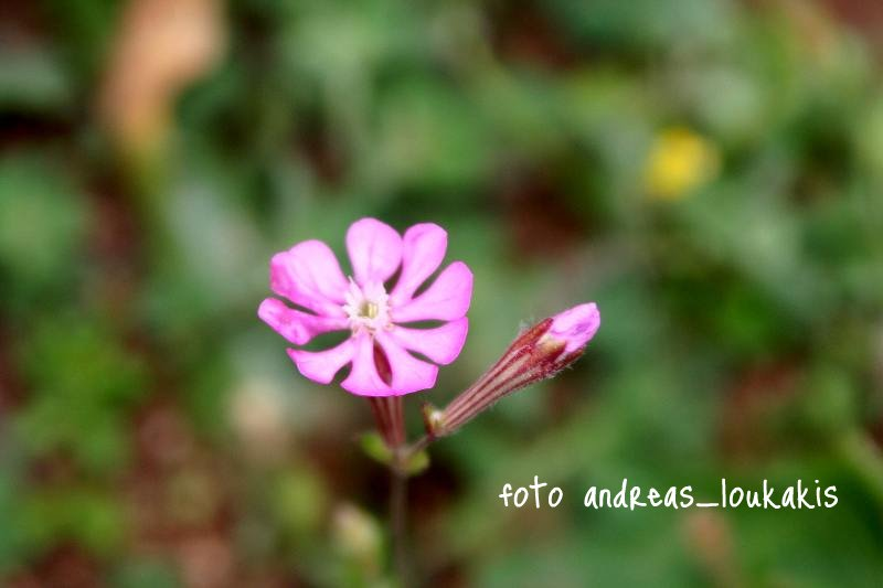 Cretan Catchfly - Silene cretica (image by Andreas Loukakis)