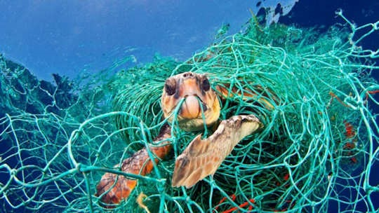 A sea turtle caught in a discarded or lost fishing net known as a 'ghost net'