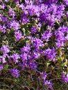 Thyme - Thymus capitatus
