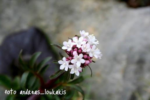 Valerian  Valerian officinalis (image by Andreas Loukakis)
