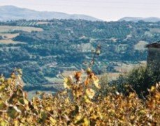 Autumn in Crete - grapevines drying