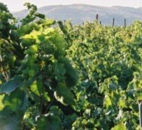 Fresh green leaves of the vineyards