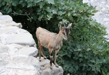 Kri Kri goat of Crete