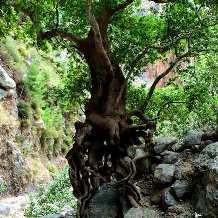 Agia Irini Gorge - wild tree growing out of rock wall (image by Ania Mendrek)