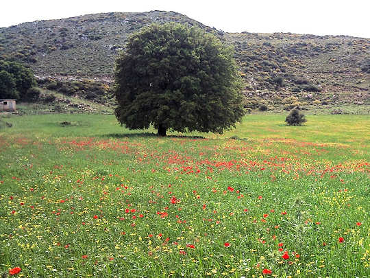 Wildflowers in Crete - flowers burst in the meadows in Spring from April to June