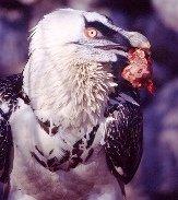 Bearded Vulture, Gypaetus barbatus