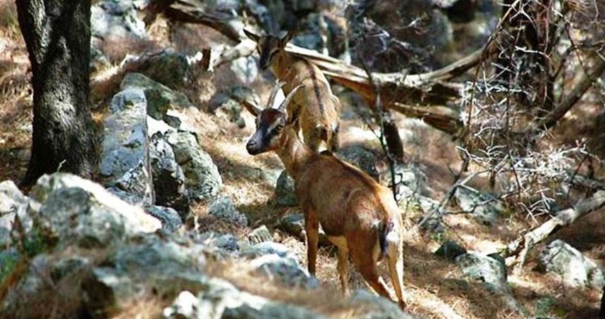 Native animals of Crete - Kri Kri goats