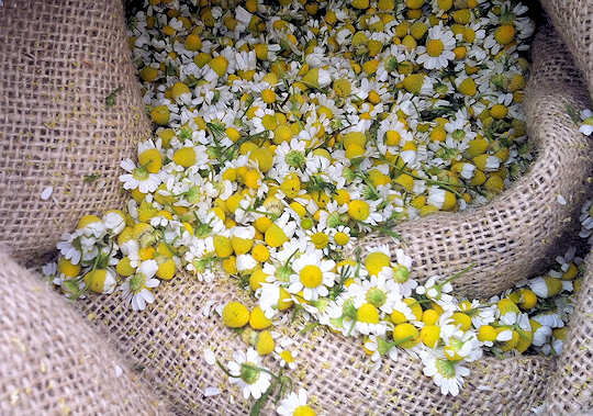 Wild chamomile just after collection