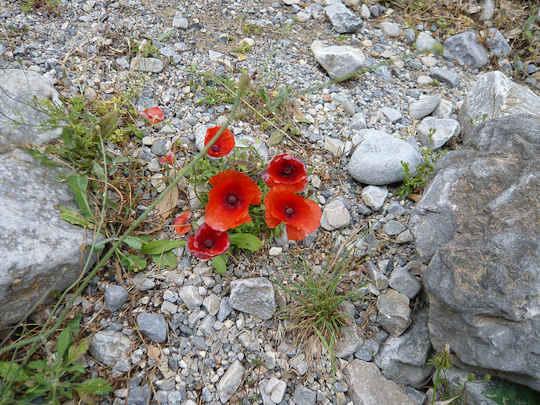 Poppies (image by Christine McIntosh)