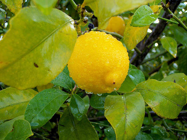 Lemon in the garden in Crete