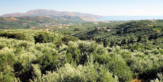 Olive groves of the Terra Creta farm in Kolymvari, western Crete