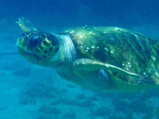 Loggerhead Turtle Crete (image by Mark Latter)