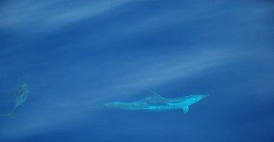 Mediterranean Striped Dolphins