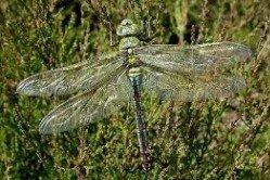 Emporor Dragonfly by Jelger Herder