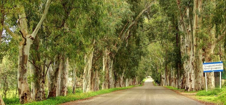 The avenue of tall eucalyptus trees upon entry to the village