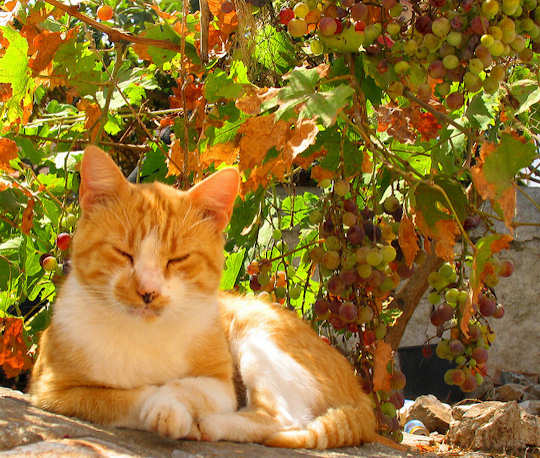 Ginger Cat by Karol m