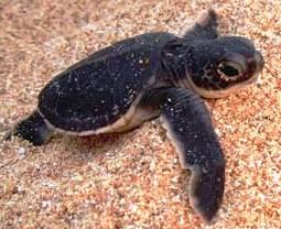 Green Turtle in Crete