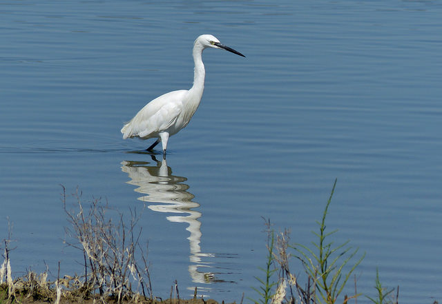 Little Egret, Egretta garzetta, at Lake Kournas in Crete (image by Bernard Dupont)