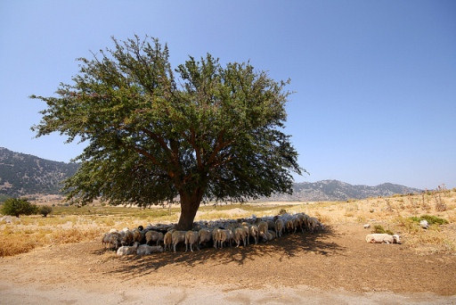 Sheep shelter under a tree on the plateau