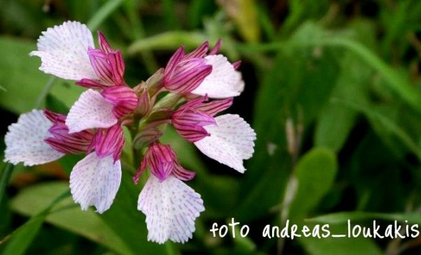 Pink Butterfly Orchid  Orchis papilionacea (image by Andreas Loukakis)