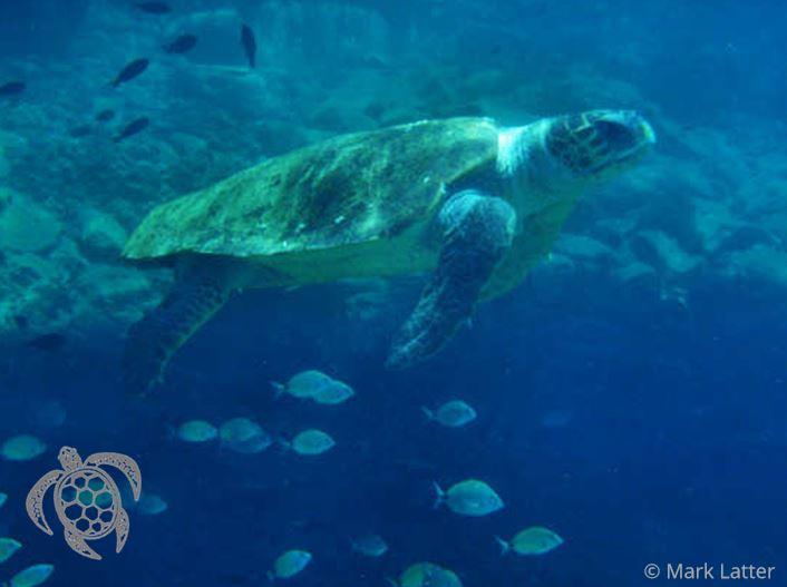 Caretta caretta Sea Turtle in Crete (image by Mark Latter)