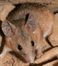 Spiny Mouse of Crete