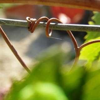 Young tendril on grape vine